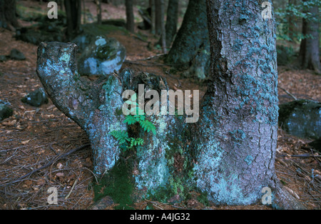 Young mountain ash growing in the rutting trunk of an old spruce - Stock Photo