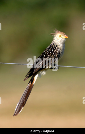 BT-164D GUIRA CUCKOO ON WIRE - Stock Photo