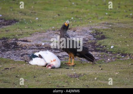 Striated Caracara Phalcoboenus australis calling with upland goose - Stock Photo