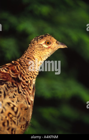 Common pheasant Phasianus colchicus female head and upper body in golden light - Stock Photo