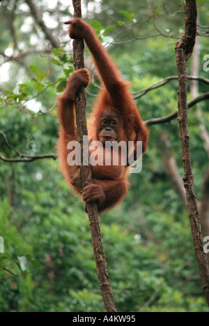 SUMATRAN ORANGUTAN young Pongo abelii Previously Pongo pygmaeus abelii Gunung Leuser National Park Northern Sumatra - Stock Photo