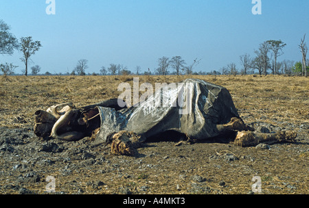 Elephant carcase, the result of poaching. Stained by vulture droppings. - Stock Photo