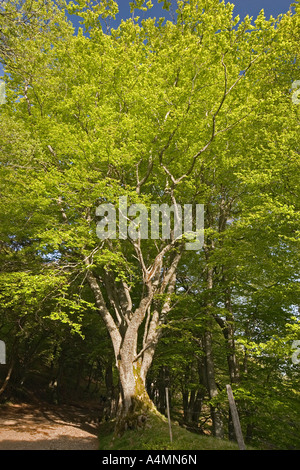 The beech foliage exuberance (Fagus sylvatica) in the Chaudefour Valley (France). Hêtres au feuillage printanier - Stock Photo