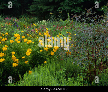 CORONATION GOLD YARROW (ACHILLEA FILIPENDULINA); RED-LEAF ROSE (ROSA GLUCA); WINTER SAVORY(SATUREJA MONTANA) /PENNSYLVANIA - Stock Photo