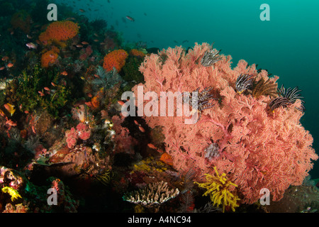 nm0341 D GORGONIAN SEA FAN Melithaea sp WITH CRINOIDS Indonesia Indo Pacific Ocean Copyright Brandon Cole - Stock Photo