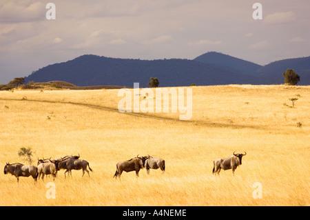 herd of wild gnus GNU  wildebeest  population in Chyulu Hills Kenya East Africa mountain kenia - Stock Photo