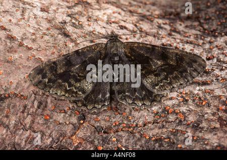 Mottled Beauty Alcis repandata - Stock Photo