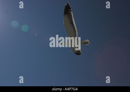 Kelp (southern black backed) gull Larus dominicanus dominicanus in flight - Stock Photo