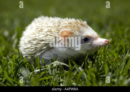 African pygmy four toed hedgehog in grass - Stock Photo