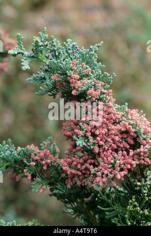 Chamaecyparis lawsoniana 'Wisselii' - Stock Photo