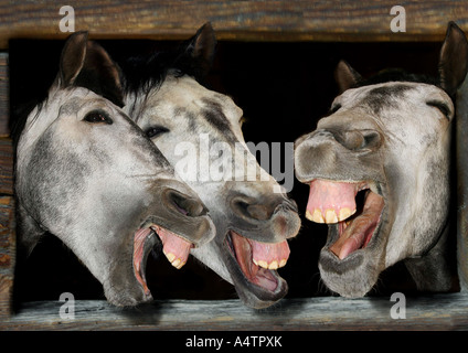 Domestic Horse. Three individuals laughing - Stock Photo