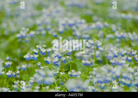 Blue Eyed Mary wildflowers cover the forest floor at Giant City State Park Illinois - Stock Photo