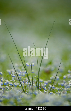 Blue Eyed Mary wildflowers and wild onion on the forest floor at Giant City State Park Illinois - Stock Photo