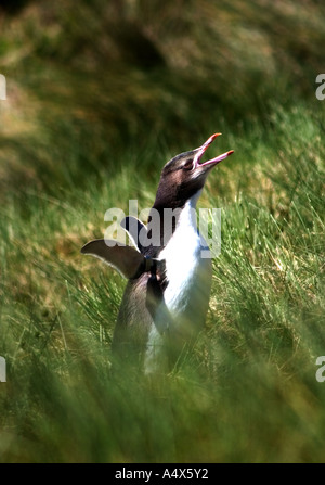 Juvenile Yellow - eyed penguin - Stock Photo