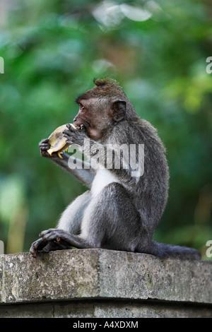 Crab-eating Macaque (Macaca fascicularis) in Monkeyforest, Ubud, Bali, Indonesia - Stock Photo