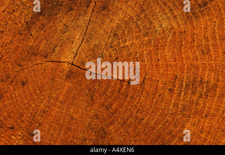 common larch, European larch (Larix decidua), radial section through a log - Stock Photo