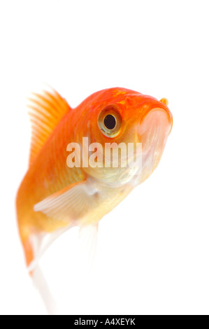 Goldfish - Stock Photo