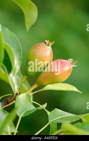 Williams Christ pear on tree, unripe - Stock Photo