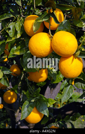Oranges on the tree, Altea, Costa Blanca, Spain - Stock Photo
