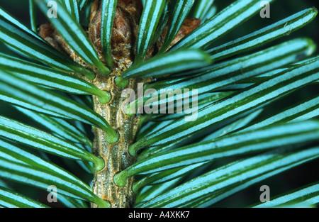 Nordman fir (Abies nordmanniana), underside of the leaves - Stock Photo