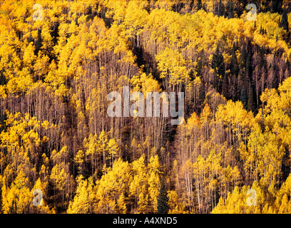 Golden aspens (Populus tremuloides) in autumn color on Grand Mesa Grand Mesa National Forest Colorado USA - Stock Photo