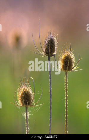 Dried teasel flower seed heads spiders and spider webs Montana USA - Stock Photo
