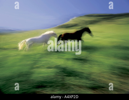 One white horse and one dark horse in blurred motion running across a green pasture Montana USA - Stock Photo