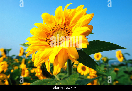 common sunflower (Helianthus annuus), close-up of single inflorescence in front of field of sunflowers, Germany - Stock Photo