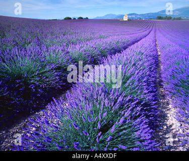 FR - ALPES DE HAUTE PROVENCE: Lavender Field - Stock Photo