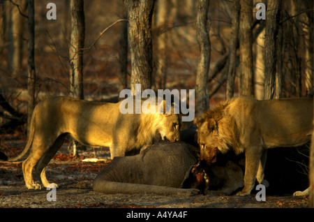 Two young male lions feeding on the carcass of a baby elephant in Chobe National Park Botswana southern Africa - Stock Photo