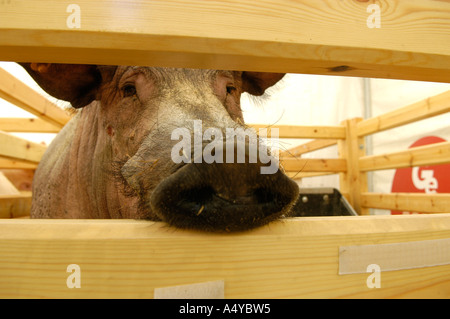 Pig exhibited in Pork Week celebration in Vic Catalunya Spain one of the places with best pork products in the country - Stock Photo