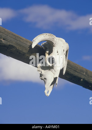 Cow skull on ranch gate Montana - Stock Photo