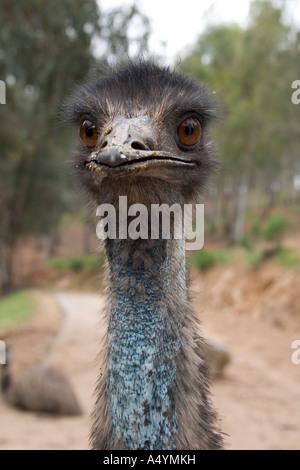 An Emu at La Reserva Sevilla El Castillo de las Guardas the safari park in Seville - Stock Photo