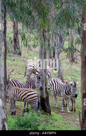 Zebras Equus Quagga Boehmi at La Reserva Sevilla El Castillo de las Guardas the safari park in Seville - Stock Photo