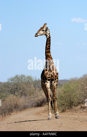 A giraffe stands in the middle of the road in Kruger National Park, South Africa. Eva-Lotta Jansson - Stock Photo