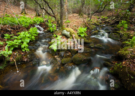 False Hellebore and skunk cabbage on a stream bank in Devils Hopyard State Park Connecticut USA - Stock Photo