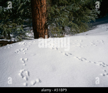 Cottontail rabbit tracks in the snow, Jemez Mountains, New Mexico, USA - Stock Photo