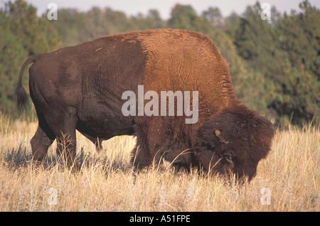Animals American bison buffalo fierce eye closeup portrait - Stock Photo