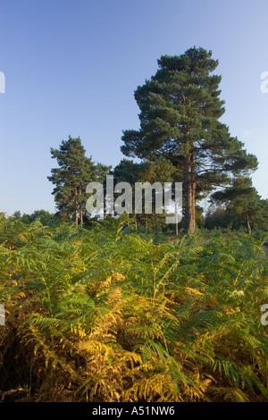 Knettishall Heath in Suffolk, UK - Stock Photo