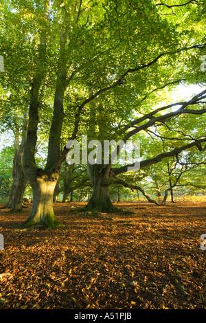 woodland at Knettishall Heath in Suffolk, UK - Stock Photo