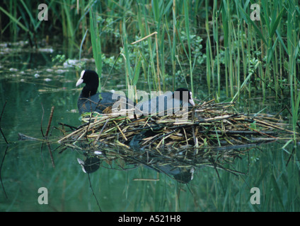 Pair of Coots at Nest (Fulica atra) in the Uk - Stock Photo