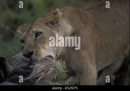 Africa Kenya Masai Mara Game Reserve Adult Lioness Panthera leo with Wildebeest just killed in hunt on savanna - Stock Photo
