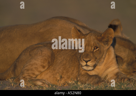 Botswana Chobe National Park Lion cub Panthera leo rests along Chobe River in first light of dawn during dry season - Stock Photo