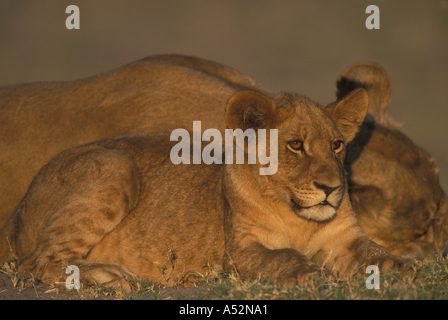 Botswana Chobe National Park Lion cub Panthera leo rests along banks of Chobe River in first light of dawn - Stock Photo