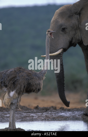 South Africa Addo Elephant National Park Ostrich Struthio camelus at water hole by elephants Loxodonta africana - Stock Photo