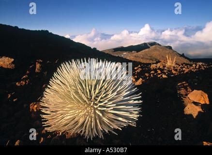 Silversword plant, Haleakala, Hawaii, USA - Stock Photo