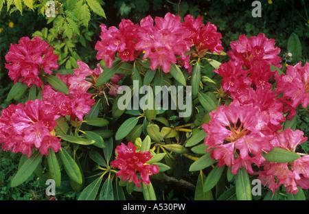 Weak rhododendron plant in flower growing on neutral to alkaline soil - Stock Photo