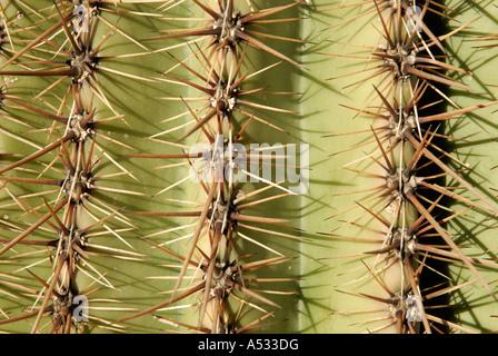 Saguaro Cactus, Carnegiea gigantea, spines thorns on three 3 pleats, close up abstract - Stock Photo