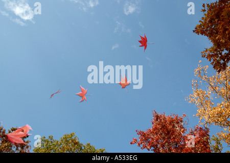 Maple leaves falling against a blue autumn sky Stock Photo