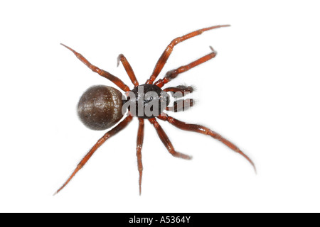 A male Steatoda bipunctata spider, Theridiidae family, on white background - Stock Photo